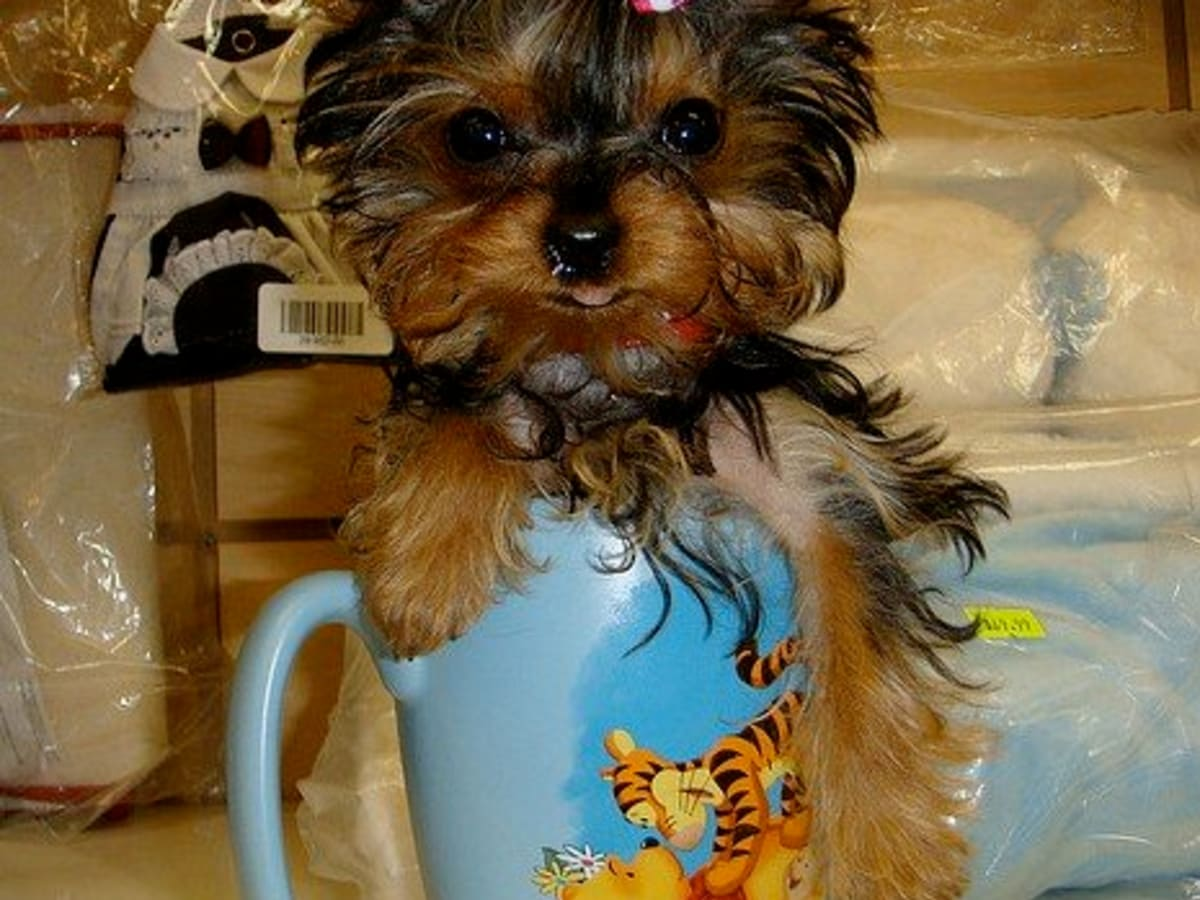 Cool Dog Names For A Yorkie Pethelpful By Fellow Animal Lovers And Experts