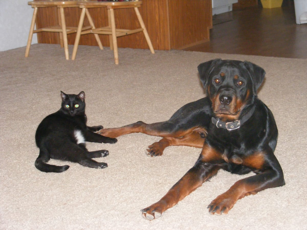 Why Did My Dog Kill My Cat Pethelpful By Fellow Animal Lovers And Experts