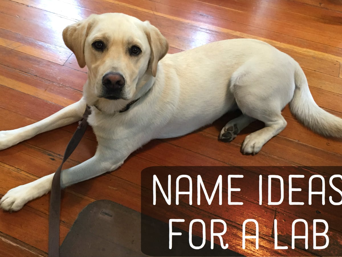 Great Names For Yellow Black And Chocolate Labradors Labs Pethelpful By Fellow Animal Lovers And Experts