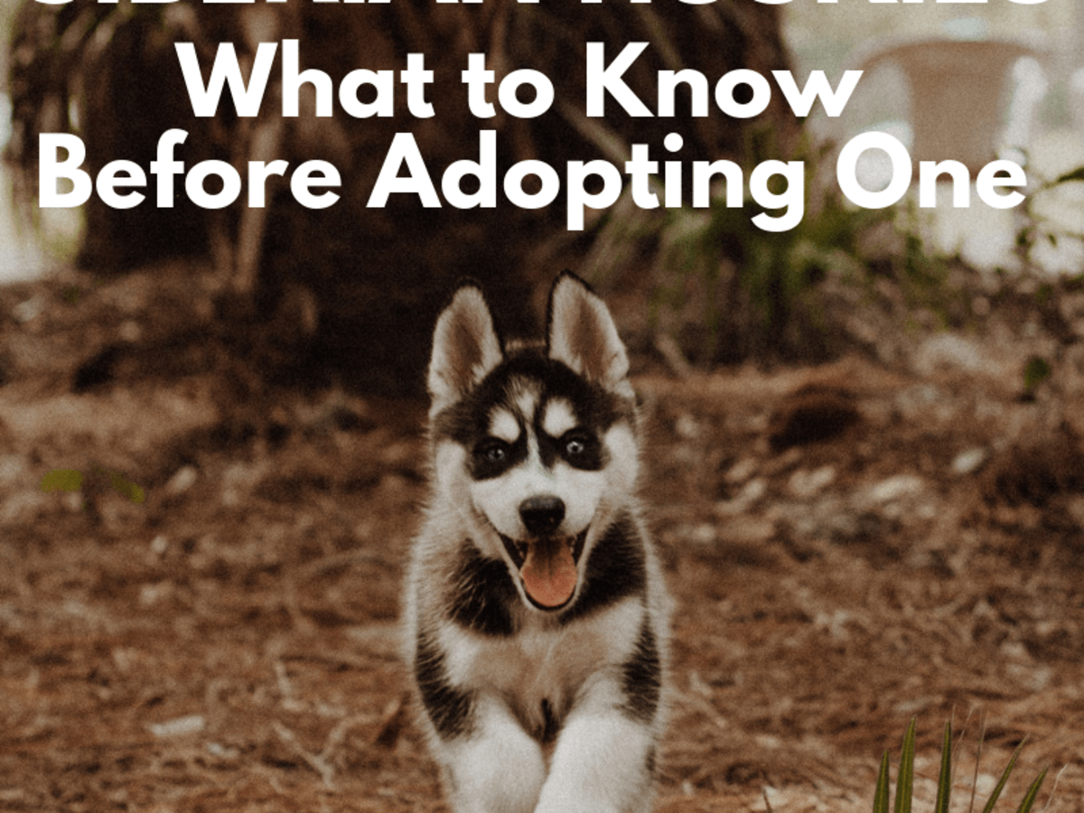 Five Things To Know Before Adopting A Siberian Husky Pethelpful By Fellow Animal Lovers And Experts