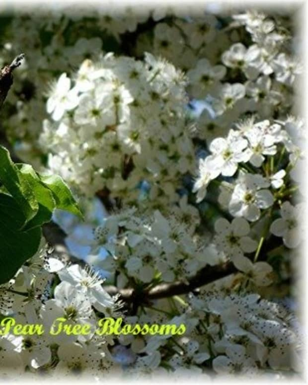 the-bradford-pear-fast-growing-decorative-trees-for-landscape-design
