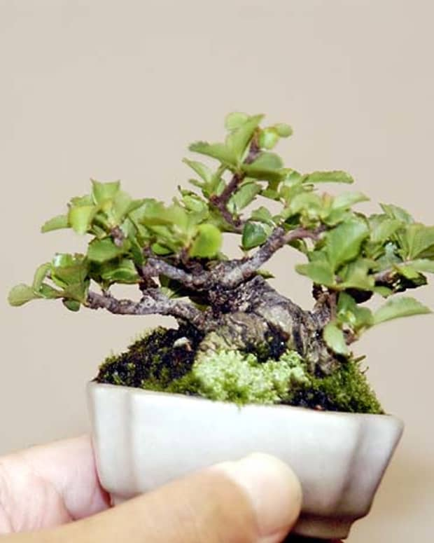 How To Grow Your Own Bonsai Tree Dengarden Home And Garden