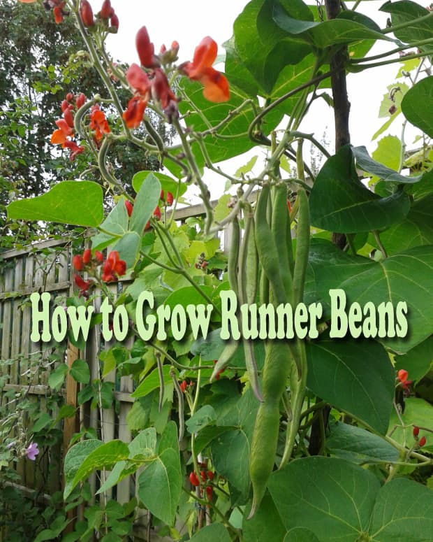 how-to-grow-runner-beans
