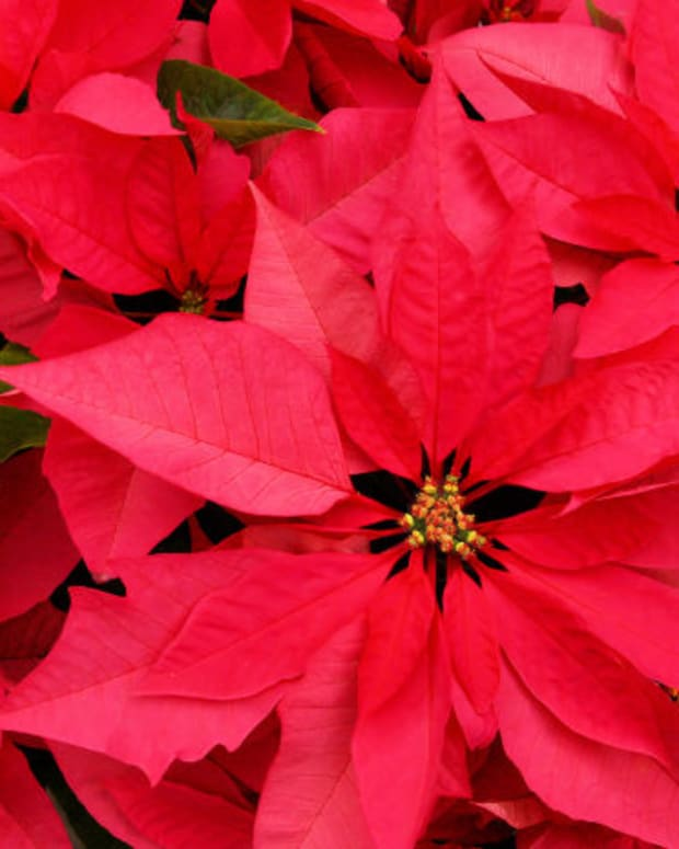 choosing-and-caring-for-your-poinsettia-plant