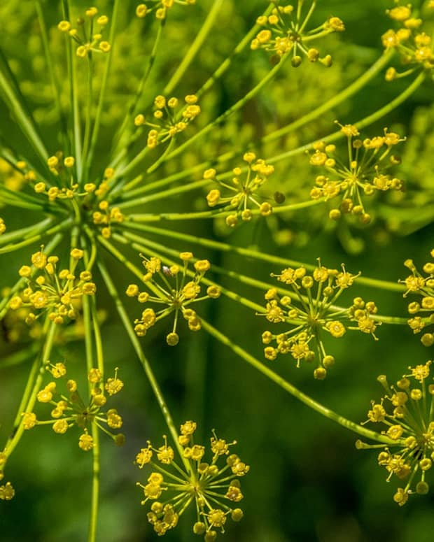 how-to-grow-fennel-like-an-expert
