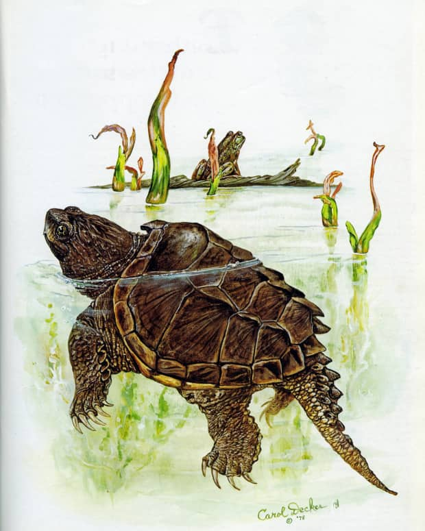 the-common-snapping-turtle-dont-fix-what-aint-broke