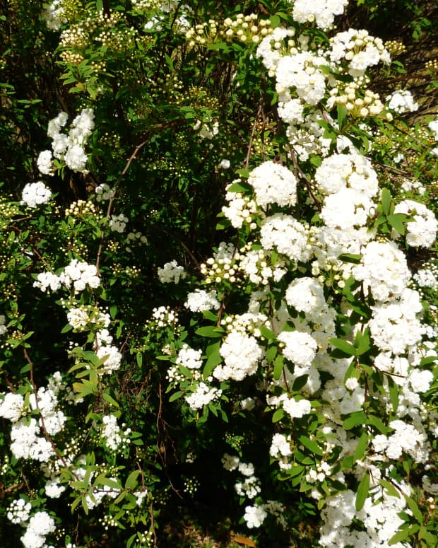 garden-landscaping-with-flowering-plants-using-the-bridal-wreath