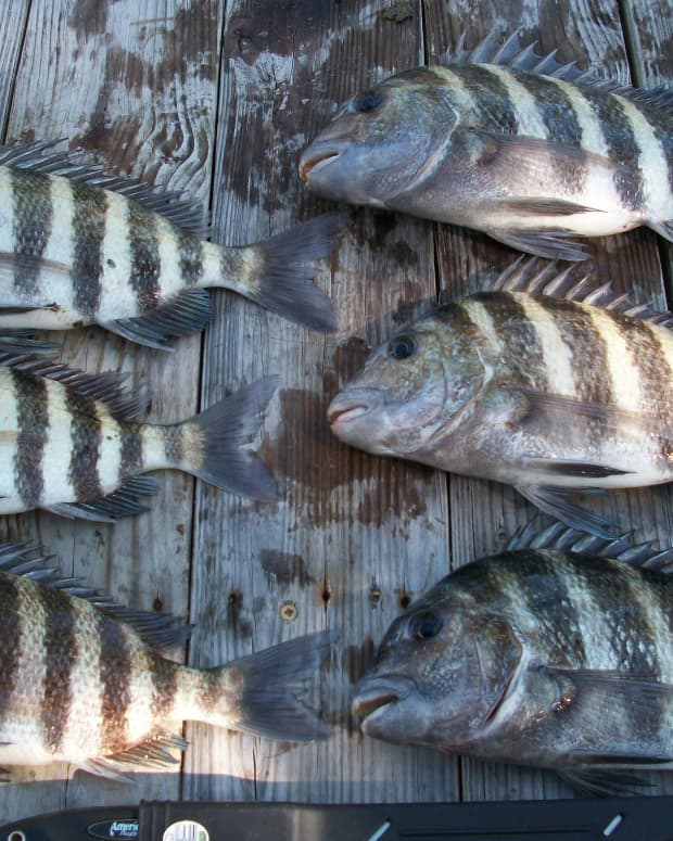 how-to-catch-sheepshead