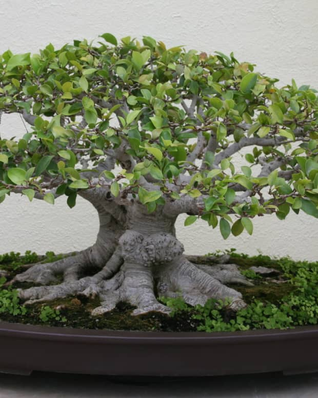 ginseng-ficus-bonsai-the-perfect-bonsai-for-the-beginner