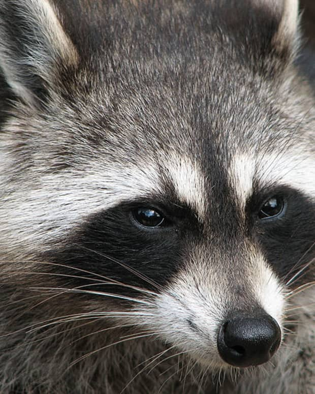 how-do-you-get-rid-of-raccoons