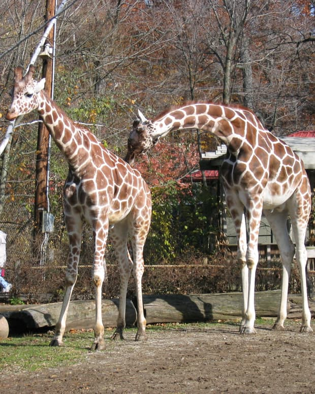 what-sound-does-a-giraffe-make