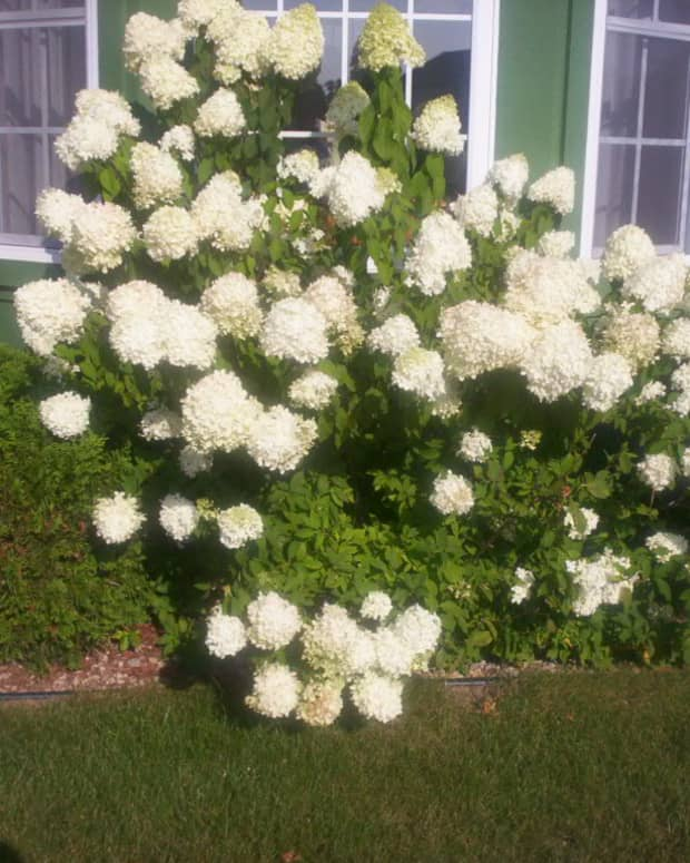 how-to-plant-a-hydrangea