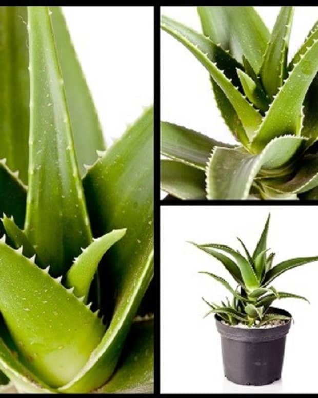 growing-aloe-vera-plants-at-home