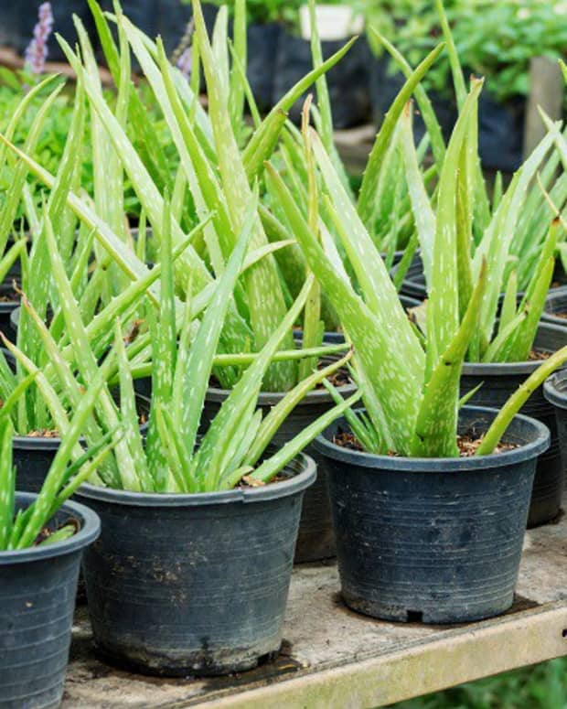 how-to-harvest-aloe-vera-gel