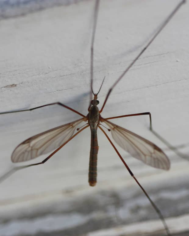 craneflies-harmless-bugs-with-a-bad-rap