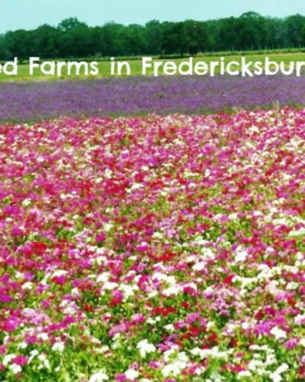 fields-of-flowers-pictures-wildseed-farms-fredericksburg-texas