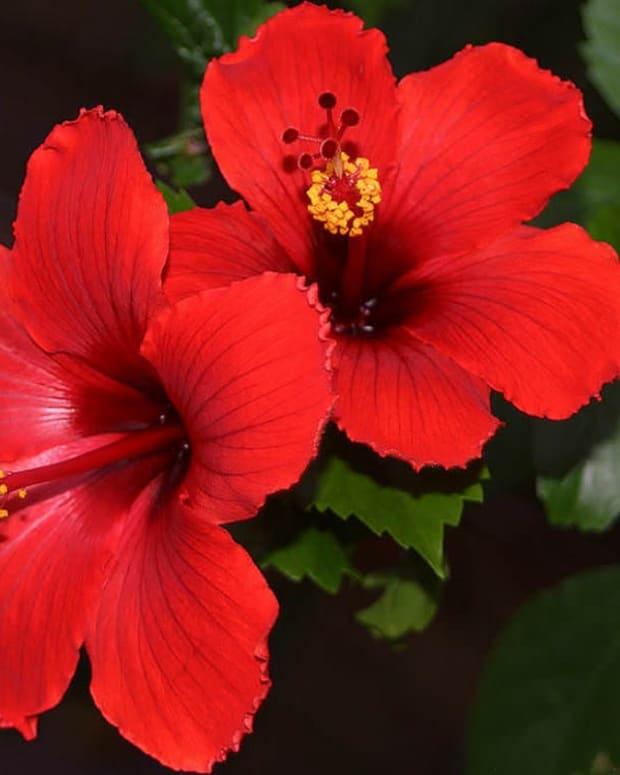 hibiscustropical-gems