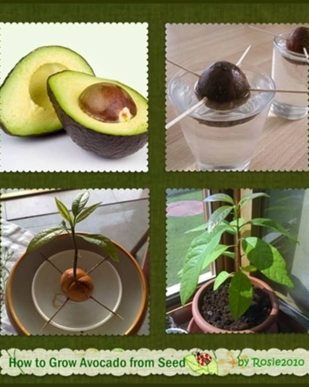 avocado-how-to-grow-avocados