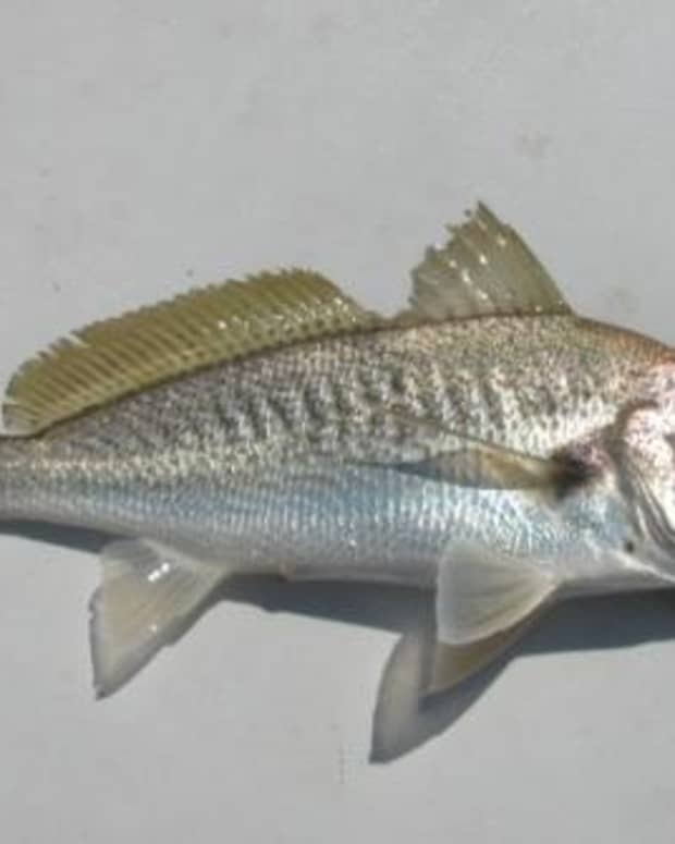 best-baits-for-croaker-fishing