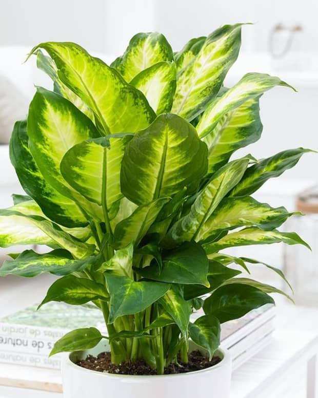 how-to-propagate-a-dieffenbachia-plant-using-cuttings
