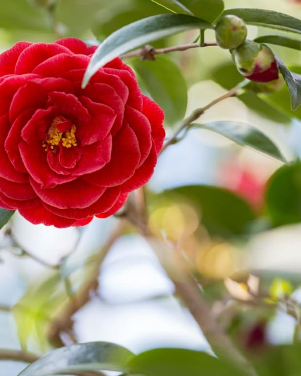 how-to-grow-gorgeous-camellias-from-cuttings