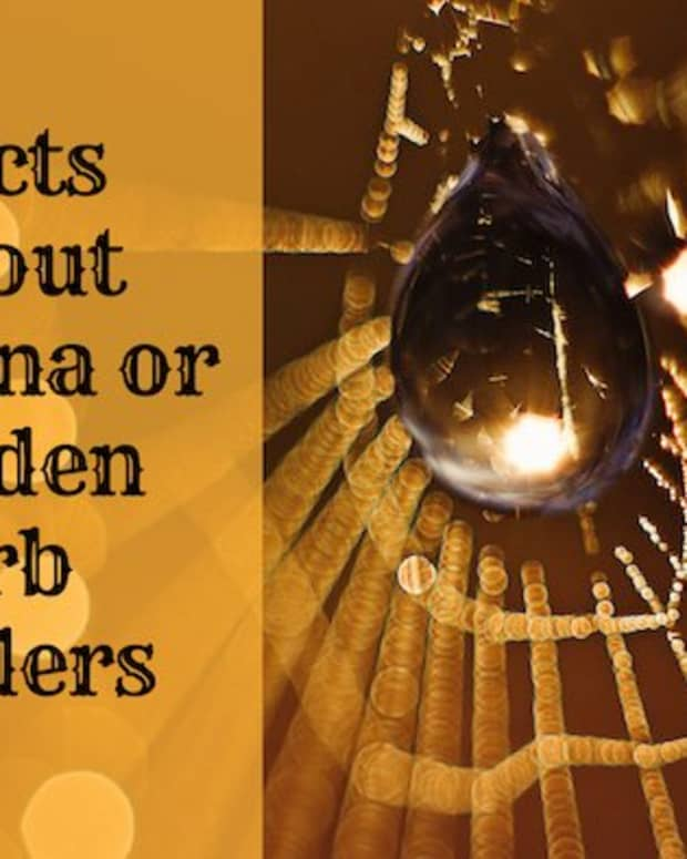 facts-about-banana-spiders-golden-orb-spiders
