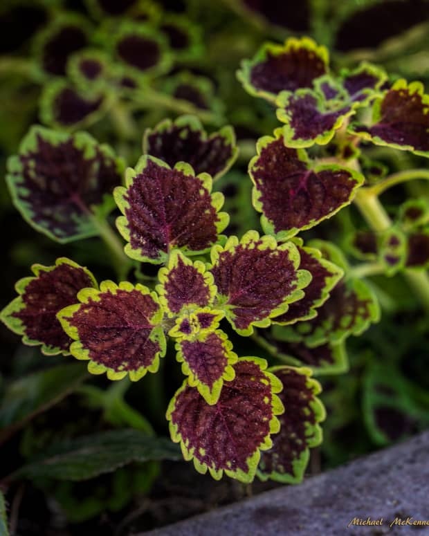 how-to-grow-coleus-as-a-house-plant