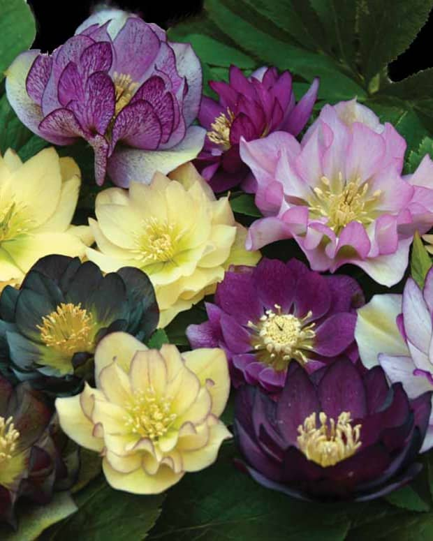 how-to-plant-and-care-for-lenten-roses