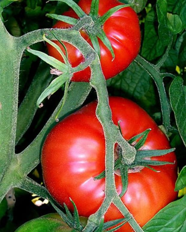 how-to-grow-big-tomato-plants