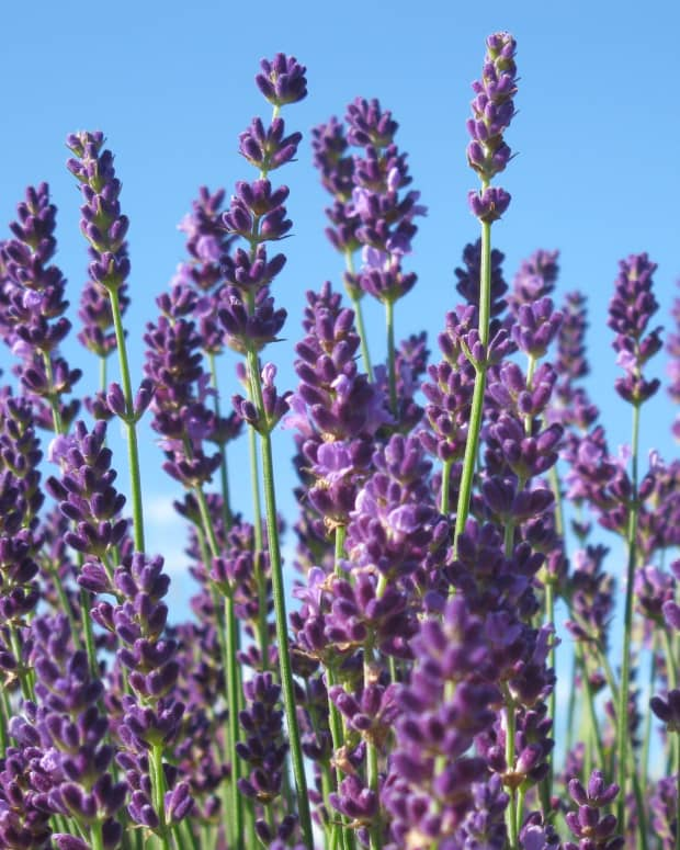 best-french-english-lavenders-lavender-lavendar-grow-in-zone-5-ontario-flowers-herbs