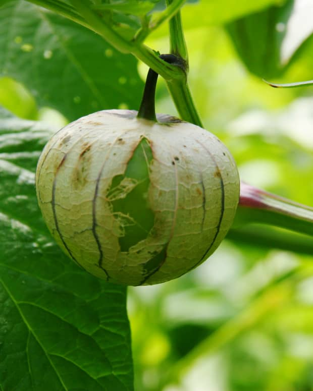 growing-tomatillos-from-tomatillo-seeds-to-salsa-verde