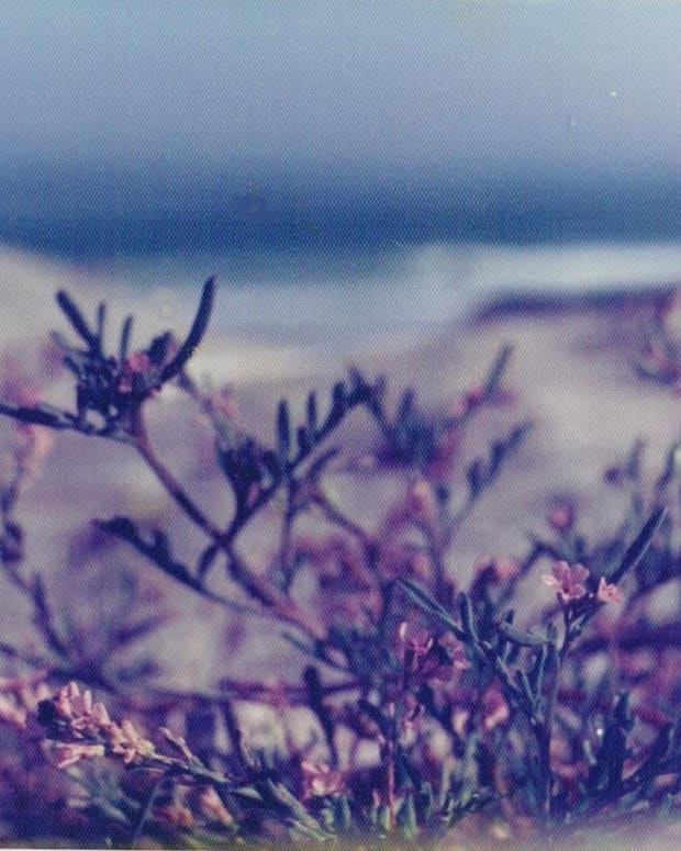 beach-pea-blossoms