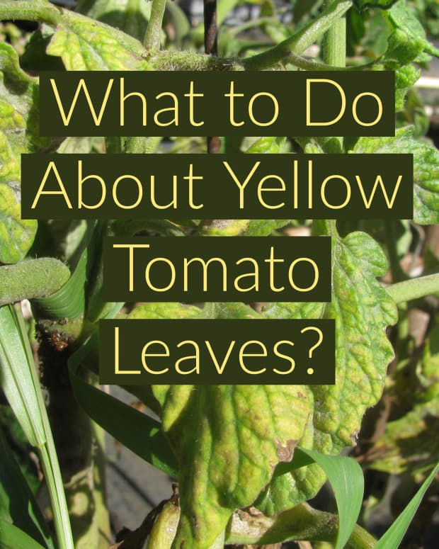 yellow-leaves-on-tomato-plants-get-rid-of-yellow-tomato-leaves