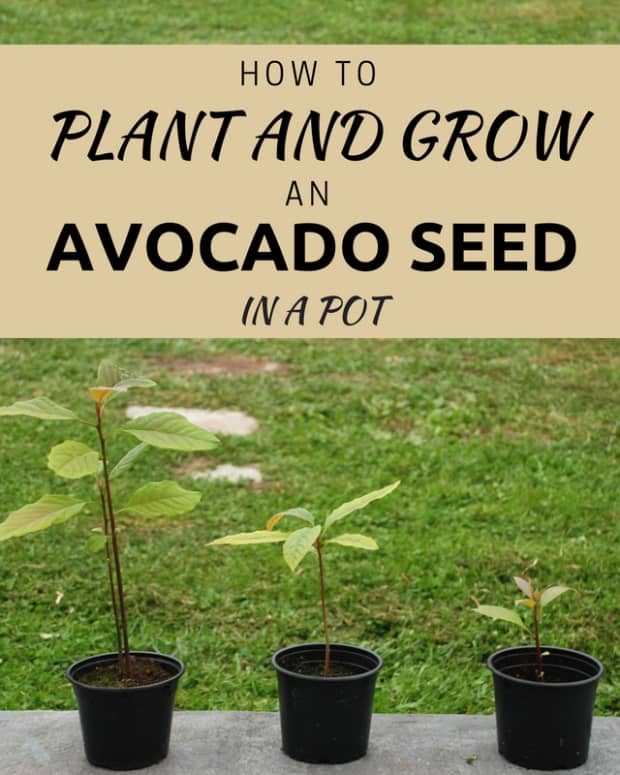 an-almost-foolproof-way-to-grow-an-avocado-from-a-seed