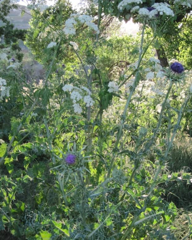 milk-thistle-and--poison-hemlock