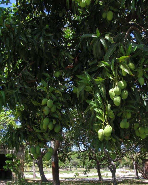 mango-ideas