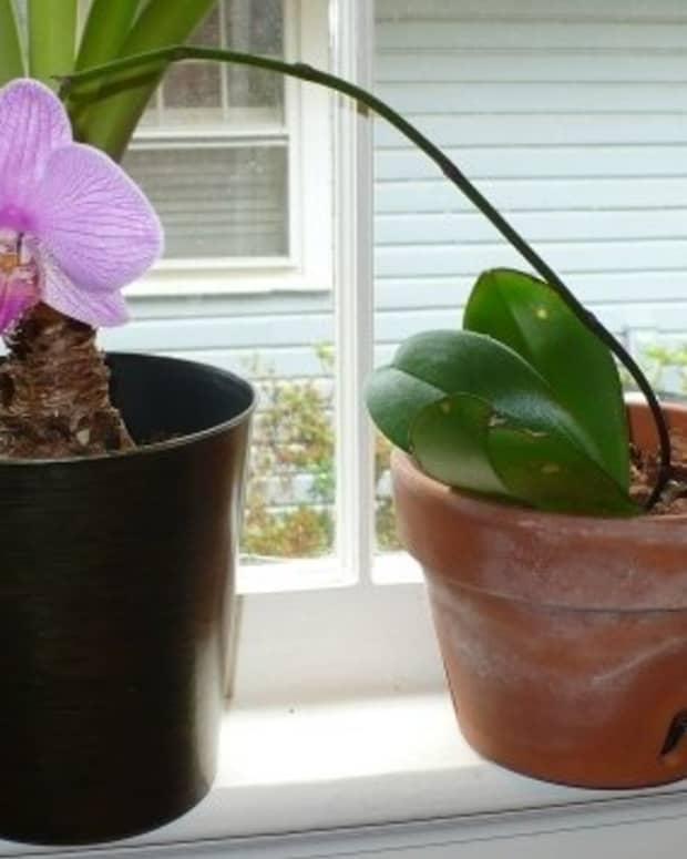 phalaenopsis_for_beginners