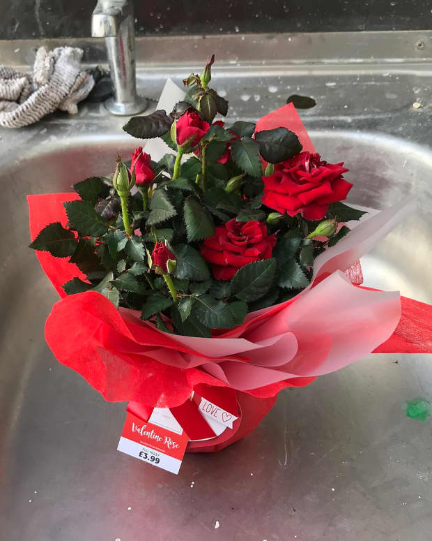an-original-gift-for-valentines-day-miniature-rose-bush