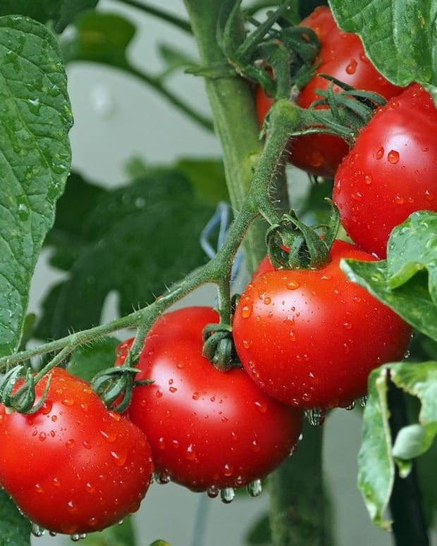 best-fertilizer-for-tomato-plants-and-all-about-fertilizing-tomatoes