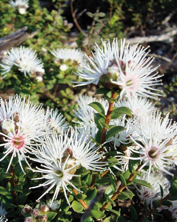 australian-native-plant-profile-muntries-kunzea-pomifera