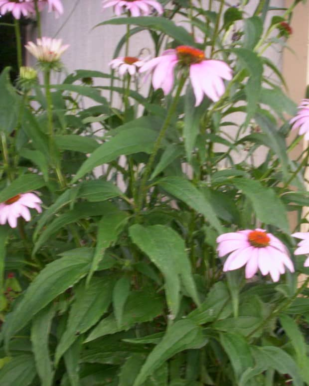 growing-coneflowers-enchinacea