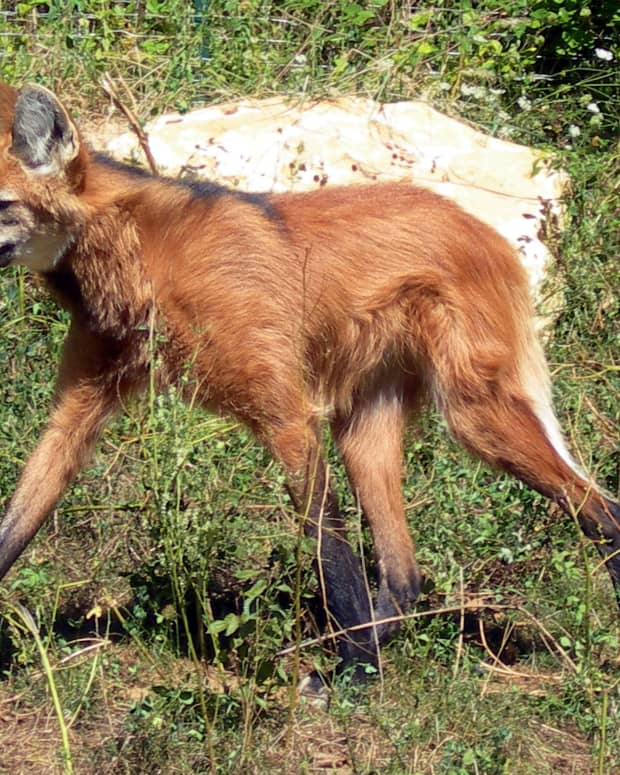 the-maned-wolf-of-south-america-an-unusual-animal-of-the-savanna