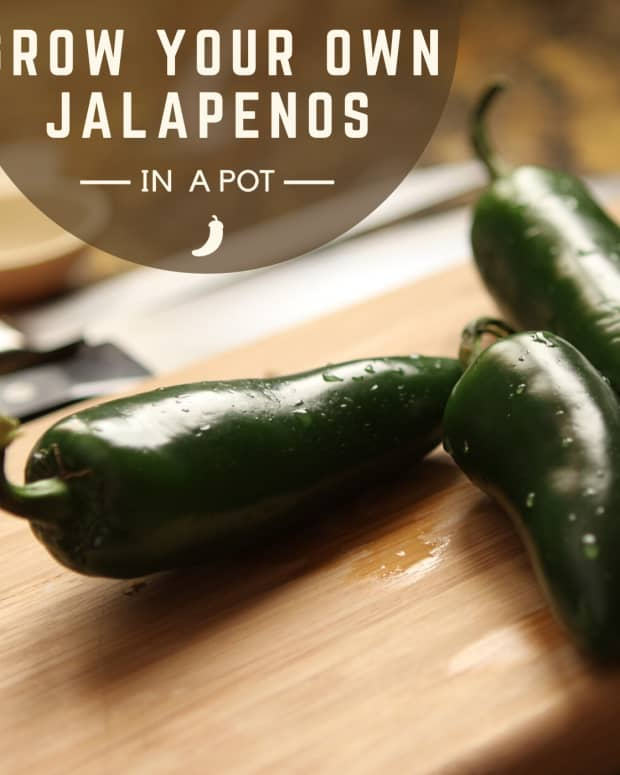 how-to-grow-jalapenos-in-containers