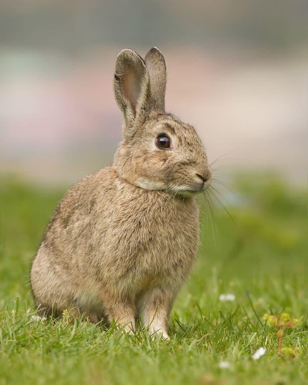 australian-rabbit-plague