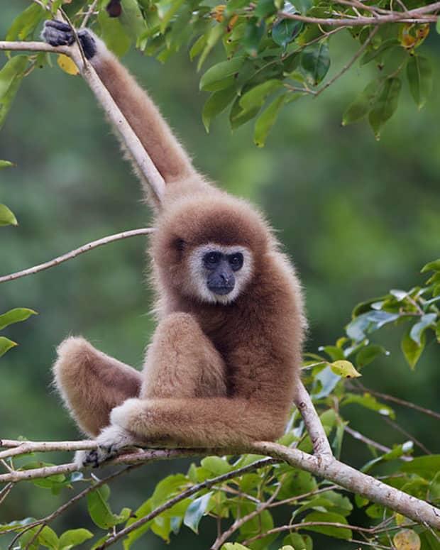 vanishing-primates
