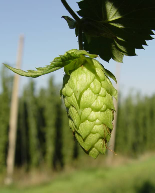 sleep-deeper-with-hops-a-natural-cure-to-insomnia