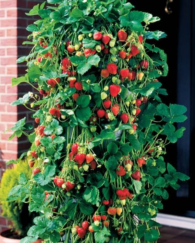 recicle-by-using-discarded-10lt-plastic-bottels-to-grow-strawberries