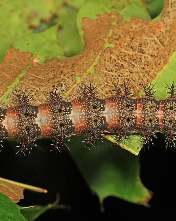 stinging-caterpillars