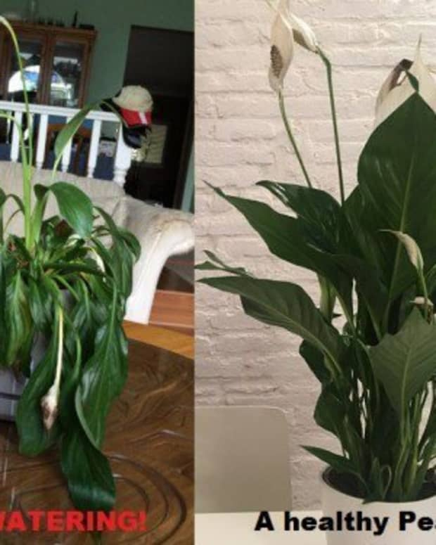 how-to-care-for-a-peace-lily-plant