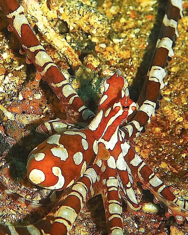 Wonderpus-octopus-and--mimic-ock-of-Indonesia-马来西亚